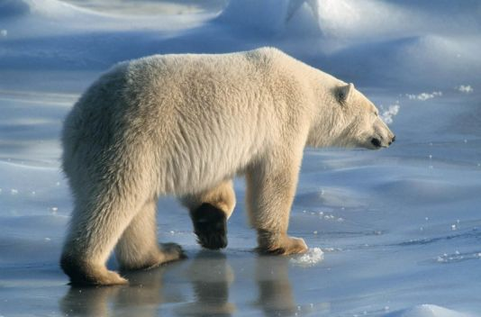 Polar bear on sea ice, Churchill, Canada