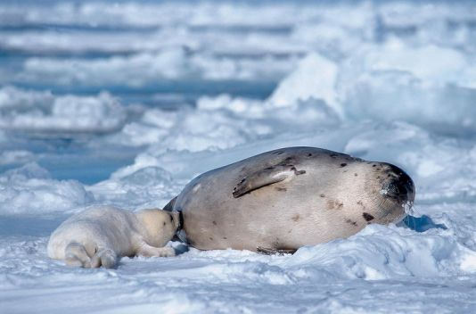 Seal of Greenland with his baby in March, Madeleine Island, Canada