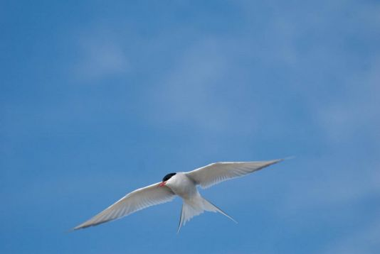 Arctic tern close to her nest, Spitzberg