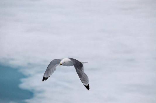 Tridactyl gull close to a glacier, Spitzberg